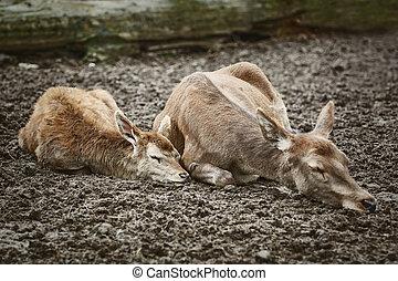 Deers Sleeping on the Ground - Two Deers Sleeping on the...