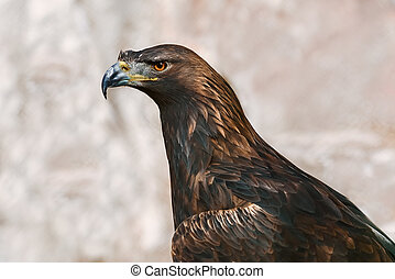 Portrait of Eagle - Close up Portrait of Golden Eagle...
