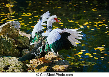 Muscovy Duck on the Shore - Muscovy Duck Dries its Wings on...