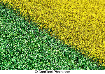 Field of Colza and Wheat - Field of Ripe Colza and Green...