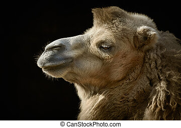 Portrait of Camel - Close up Portrait of Camel over the Dark...