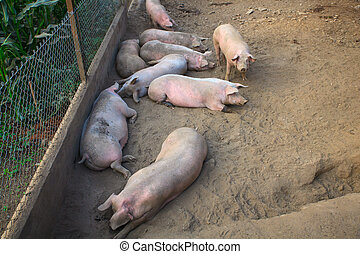 The domestic pigs - View of the domestic pigs in the pigpen