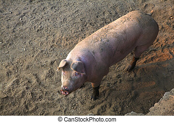 The domestic pig - View of the domestic pig in the pigpen