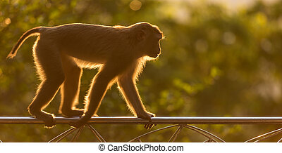 Brown monkey in the nature of Thailand. Warm toning effect with sunbeam