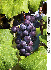 Purple Grapes Cluster on the Vine - A cluster of deep purple...