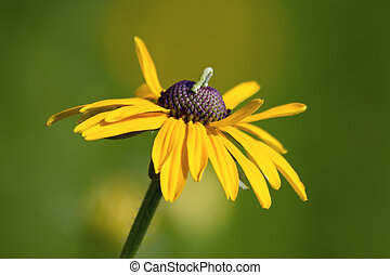 Inchworm on Yellow Flower - An inchworm geometer moth larva...
