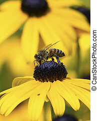 Bee on Yellow Flower Close-up - A honey bee gather food atop...