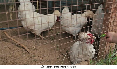 Chickens sitting in a cage on the farm in Russia, children...