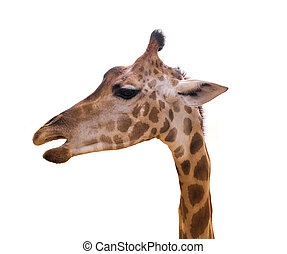 close up of head giraffe isolate on white background