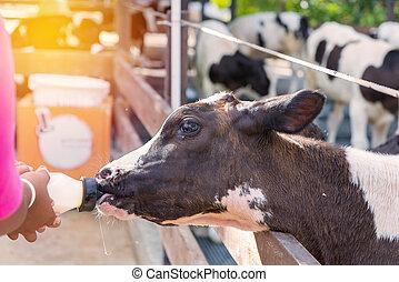 little cow feeding from milk bottle in farm.