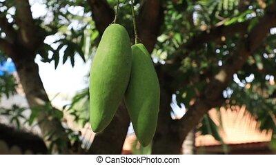 Mango ripening on the tree - Mango fruit ripening on the...