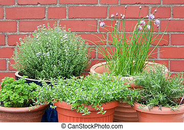 Culinary herbs - Different culinary herbs in pots - outdoor...
