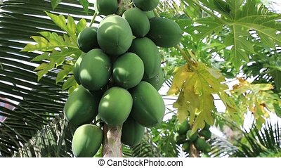 Papaya fruit ripening on the tree on a sunny summer day,...