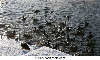 Ducks on the snow and in the water