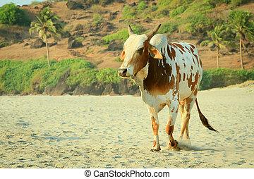 Cow on the india goa beach