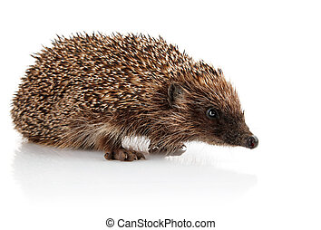 adult hedgehog isolated on white background