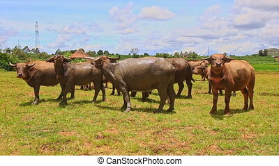 Bulls Flock Look and Go away on Green Grass against Village...