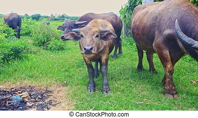 Bulls Flock Grazes on Green Tropical Meadow on Daytime -...