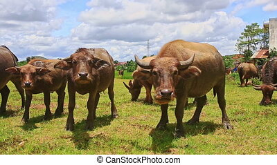 Closeup Bulls Flock Ruminate on Green Grass Tropical Meadow...