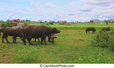 Bulls Flock Graze Go away on Green Grass against Village -...