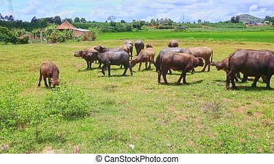 Bulls Flock Grazes on Green Grass against Village - flock of...