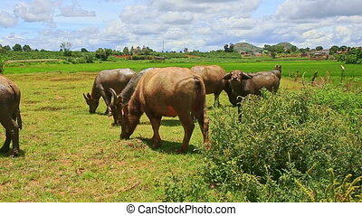 Bulls Flock Grazes on Green Grass Tropical Meadow - flock of...