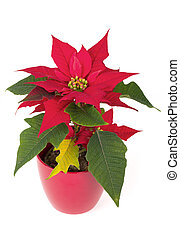 christmas flower red Poinsettia - live christmas flower red...