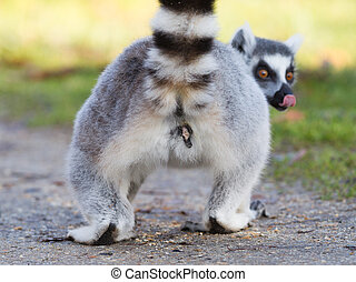 Ring-tailed lemur (Lemur catta), selective focus on it's...