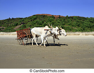 pair of white buffalo drawn to a cart going on the sandy...
