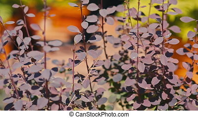 maroon leaves in Sunny weather.