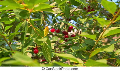 cherries hanging on the tree
