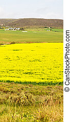 in south africa close up of the colza field - blur in south...
