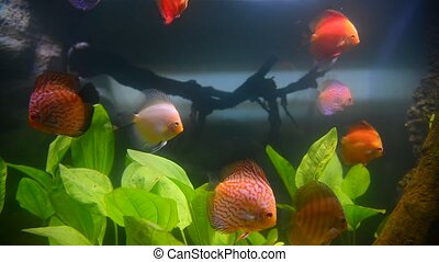 tropical fish and corals in aquarium undervater - tropical...