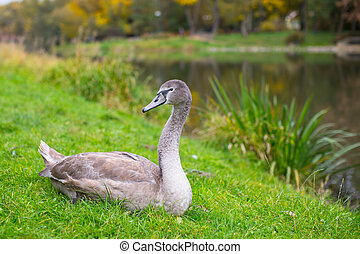 Grey Swan lying on the grass near the lake.