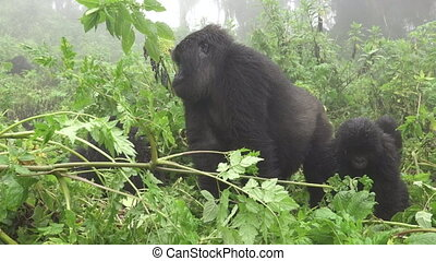 Baby mountain gorilla and mom in the forest - Front view of...