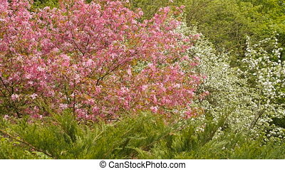 Blooming apple tree with pink blossoms. Forest on background...