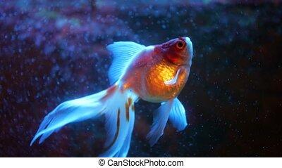 Red And White Oranda Goldfish Against Air Bubble Curtain In Home Aquarium