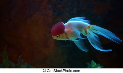 Red And White Oranda Goldfish Against Air Bubble Curtain In...