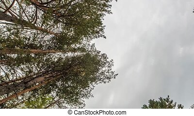 Pine trees against the sky. Russia, Time Laspe