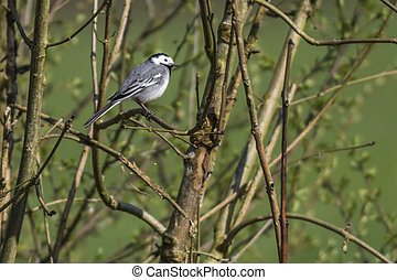 White wagtail (Motacilla alba) - A white wagtail is...