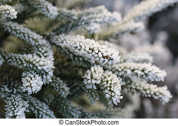 Frost and Ice Crystals on Fir Tree Branches - Frost and ice...