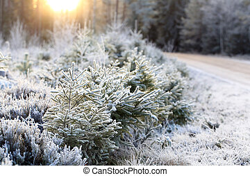 Frosted Forest and Winter Sun - Landscape of frost covered...