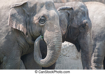 Indian elephants eating grass