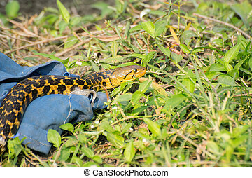 Snake coming out of it's hide - Beautiful yellow snake with...