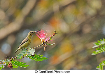 Purple sunbird (Cinnyris asiaticus) sucking nectar -...