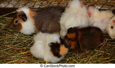 Several guinea pigs - A few cute guinea pigs huddled close...