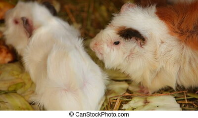 Fluffy the guinea pig - Cute and furry guinea pig Close-up
