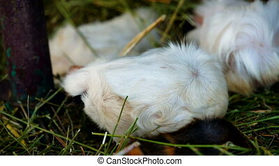 Group guinea pig - Group cute guinea pigs sitting in his...