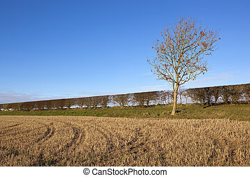young ash tree and hedgerow - a young ash tree with a...