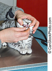 Dental check of young cat by veterinarian - Veterinarian...